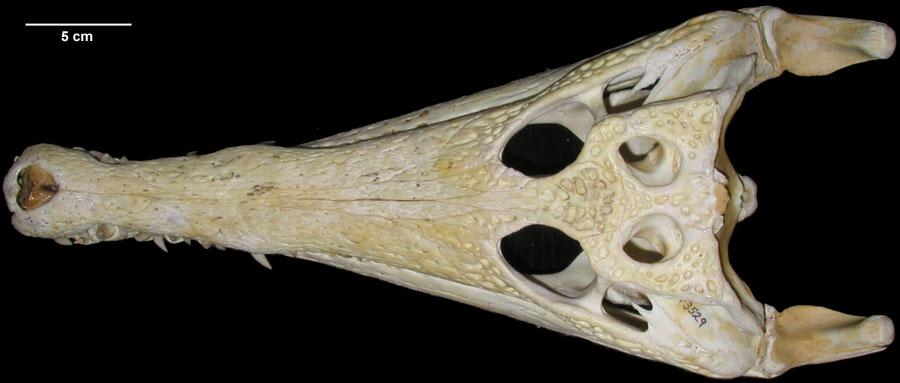 http://digimorph.org/specimens/Crocodylus_cataphractus/dorsal.jpg