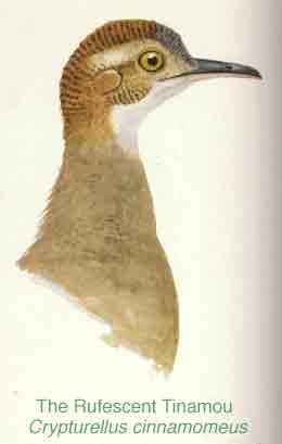 Crypturellus cinnamomeus