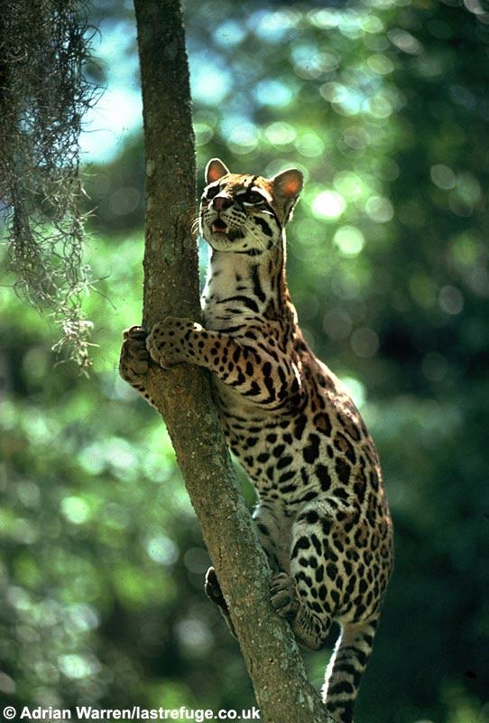 http://digimorph.org/specimens/Leopardus_pardalis/leopardus.jpg
