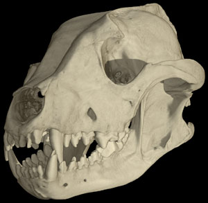 http://digimorph.org/specimens/Lycaon_pictus/male/story1thumb.jpg