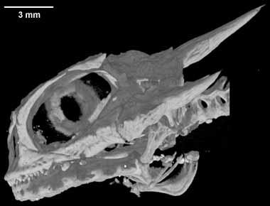 Digimorph - Phrynosoma mcallii (Flat-tailed Horned Lizard)