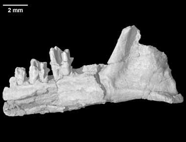 Digimorph - Teinolophos trusleri (fossil monotreme)