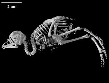http://digimorph.org/specimens/Tinamotis_pentlandii/whole/specimen.jpg